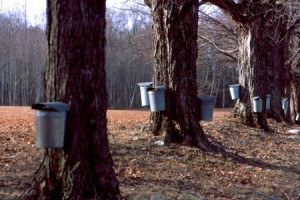 maple-sap-buckets